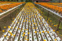 Hydroponics flower farm. Royalty Free Stock Images