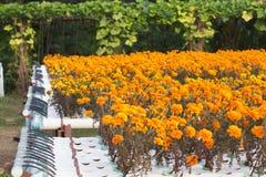 Hydroponics flower farm. Royalty Free Stock Photography
