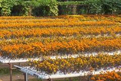 Hydroponics flower farm. Stock Photo