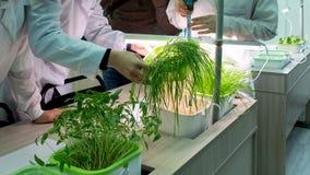 hydroponics Forskare mäter längden av unga vetegroddar med en linjal Metoden av att växa växter i vatten utan land fotografering för bildbyråer