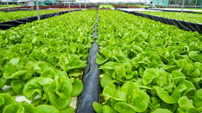 Hydroponics. Hydroponic Lettuces growing in Greenhouse Royalty Free Stock Image