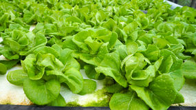 Hydroponics. Hydroponic Lettuces growing in Greenhouse Stock Photo