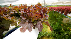 Hydroponics. Hydroponic Lettuces growing in Greenhouse Stock Images