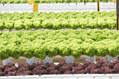 Hydroponics Lettuce Royalty Free Stock Images