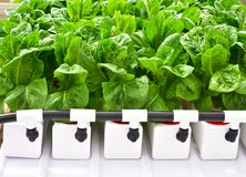 Hydroponics method of growing plants Royalty Free Stock Image