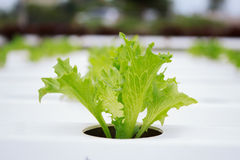 Hydroponics method of growing plants using mineral nutrient solu Royalty Free Stock Photos