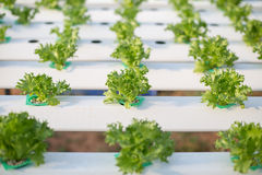 Hydroponics method of growing plants using mineral nutrient solu Royalty Free Stock Photography