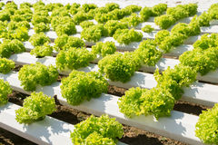 Hydroponics method of growing plants using mineral nutrient solu. Tions, in water, without soil Royalty Free Stock Image