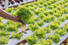 Hydroponics method of growing plants using mineral nutrient solu Stock Image