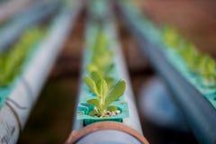 Hydroponics method of growing plants Royalty Free Stock Image