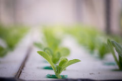 Hydroponics method of growing plants Stock Photo