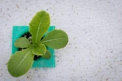 Hydroponics method of growing plants Royalty Free Stock Photography
