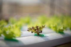 Hydroponics method of growing plants Stock Image