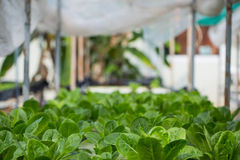 Hydroponics method of growing plants Royalty Free Stock Images