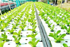 Hydroponics method of growing plants using mineral nutrient solutions, in water,. Without soil. Close up planting hand Hydroponics plant Stock Image