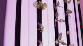 Hydroponics method of growing plants in water. UV grow lights for growing plants. UV grow lights for growing plants. hydroponics Vegetable Farm stock footage