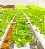 Hydroponics plantation Royalty Free Stock Images