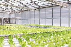 Hydroponics system greenhouse and organic vegetables salad in hydroponics farm. Stock Images