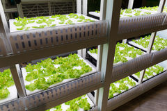 Hydroponics system in rack arrangement Royalty Free Stock Photo