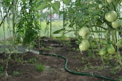 Hydroponics tomatoes and hose Royalty Free Stock Image