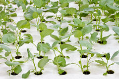 Hydroponics Vegetabl Royalty Free Stock Photo