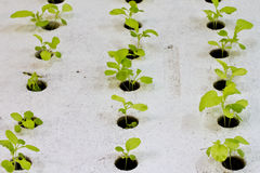 Hydroponics Vegetabl Royalty Free Stock Photography