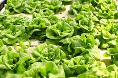 Hydroponics vegetabl Stock Images