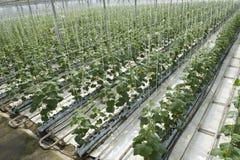 Hydroponics vegetable royalty free stock photo
