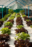 Hydroponics vegetable Royalty Free Stock Photography