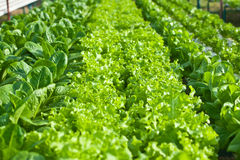 Hydroponics vegetable Stock Images