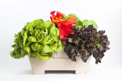 Hydroponics vegetable. For fresh salad Stock Images