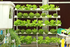 Hydroponics vegetable Royalty Free Stock Photo