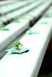 Hydroponics vegetable. Picture of young hydroponics vegetables closeup Royalty Free Stock Images