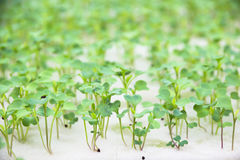 Hydroponics Vegetable. The future nutrition Royalty Free Stock Photo