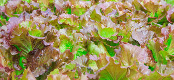 Hydroponics Vegetable. Brown and green background Royalty Free Stock Photo