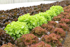 Hydroponics vegetable in farm Stock Image