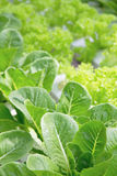 Hydroponics Vegetable Farm Royalty Free Stock Images