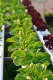 Hydroponics vegetable Stock Photos