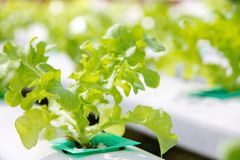Hydroponics vegetable farm background Royalty Free Stock Image