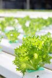 Hydroponics vegetable farm Stock Photo