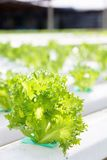 Hydroponics vegetable farm Stock Image