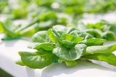 Hydroponics vegetable farm Royalty Free Stock Image