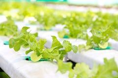 Hydroponics vegetable farm Royalty Free Stock Photography