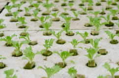Hydroponics vegetable in farm Royalty Free Stock Photography