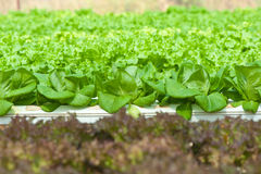Hydroponics vegetable Royalty Free Stock Photos