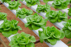 Hydroponics vegetable in farm Royalty Free Stock Photo