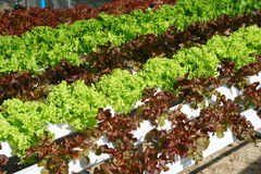 Hydroponics vegetable farming Royalty Free Stock Photo