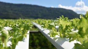 Hydroponics Vegetable garden Fillie iceburg Royalty Free Stock Image