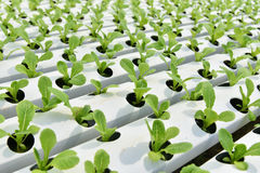Hydroponics Vegetable garden royalty free stock images