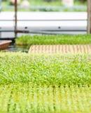 Hydroponics vegetable garden Royalty Free Stock Photo